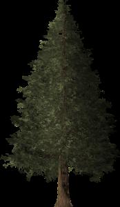redwood tree, redwood, tree